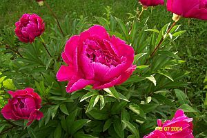 How to Transplant Peonies   Garden Guides
