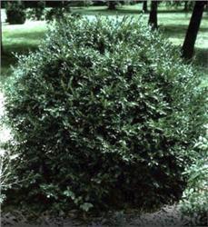 Korean Boxwood - Buxus sinica var. insularis. small, dark dense foliage. good choice for short hedges