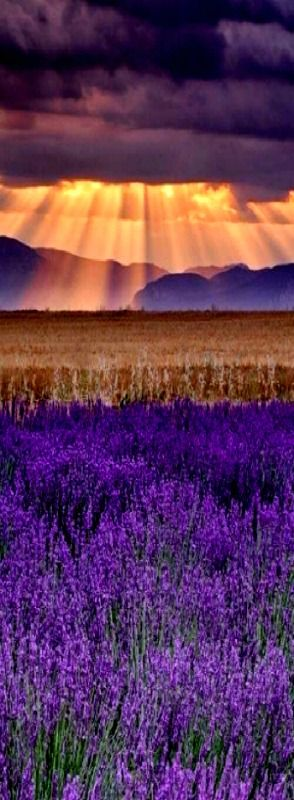 * Lavender fields of France