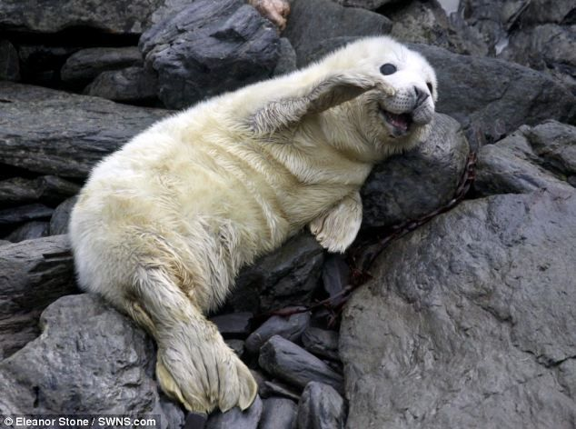 Pleased to see you: This cute seal pup appeared to be waving to the camera when it was photographed on the Isle of Man. Pupping season is currently under way on the island