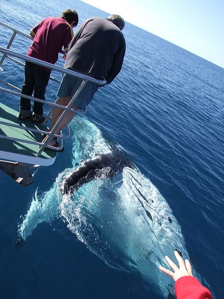 Close encounter of the whale kind.  Hervey Bay Queensland Australia Whale Watching