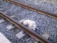 SAVE RINO PUPPY SWEPT FROM TRAIN WITHOUT CURE Needs confirmation SALVIAMO RINO CUCCIOLO TRAVOLTO DAL TRENO SENZA CURE