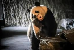 Pairi Daiza lance un sondage pour choisir le nom de Baby P, le bébé panda géant