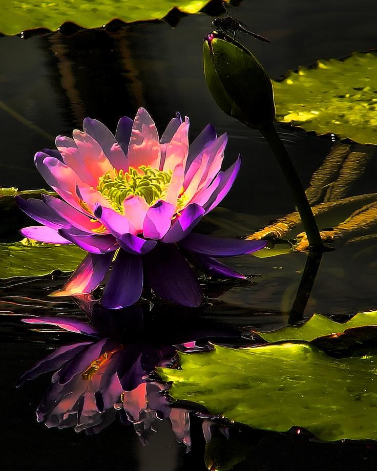 Water Lily Flowers Pinterest Lotus Og Blomster
