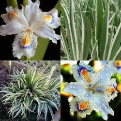 """Iris japonica 'Variegata'Deze bontbladige variëteit staat zonder de prachtige bloemen zomer en winter al heel vrolijk in de tuin, door het zwaardvormige, grijsgroene blad met ivoorwitte randen. Op een hoogte van 50 cm bloeien de fantastische witte bloemen met warmgeel spoor op de """"lip"""" en paarse stralen rondom het geel. Geef ze een plekje in de zon of halfschaduw en zorg voor een humeuze, vochthoudende grond  NB voor de plek van de gele rozen als het daaropnieuw zo nat wordt in de winter"""