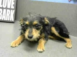 7-8-14: ID#A437252 (Moreno Valley, CA)  Female, black and tan Terrier mix.  The shelter thinks I am about 7 months old...        City of Moreno Valley Animal Control Services. https://www.facebook.com/photo.php?fbid=331882380299888set=a.136024659885662.29277.135559229932205type=3theater