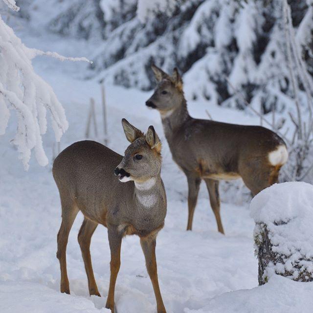 SnapWidget | Snön har vräkt ner i ett dygn och ju mer snö desto närmare in på knuten vågar sig skogens djur när det bjuds på mat. #gällivare #lappland #swedish lapland #norrland #natur #nature #vinter #winter #rådjur #deer