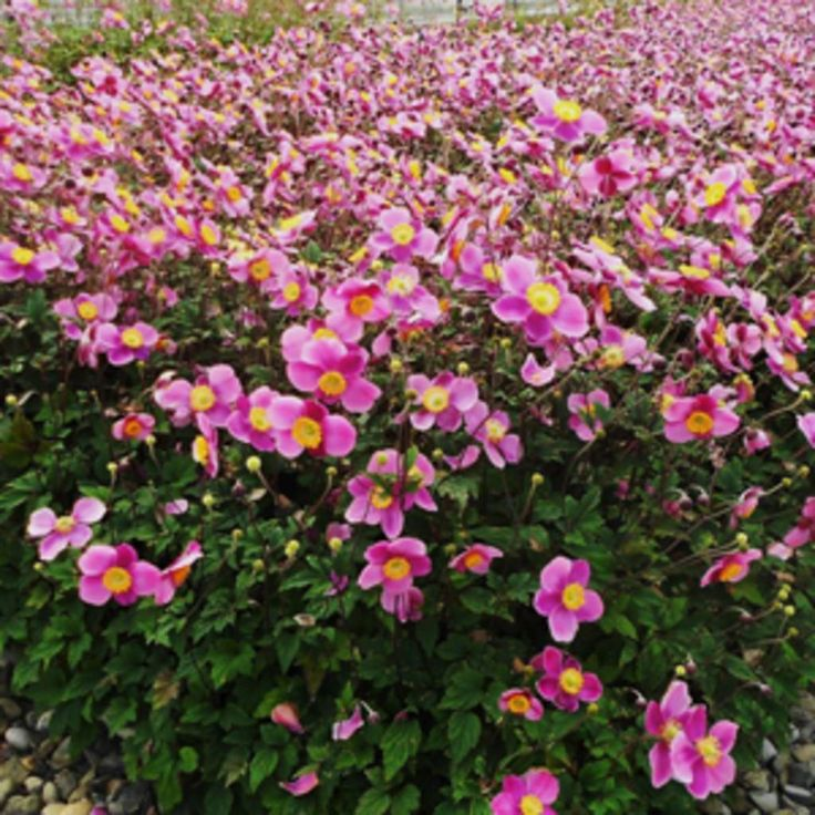 Anemone lucky charm light pink shade plants anemone