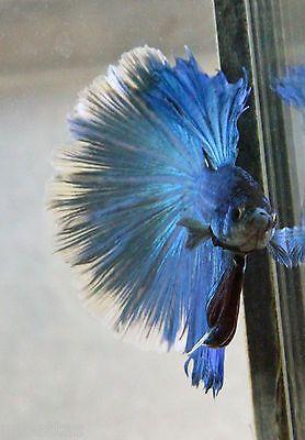 Halfmoon-HM-Teal-Blue-Green-Butterfly-White-Betta-Fish-Free-Ship-C28