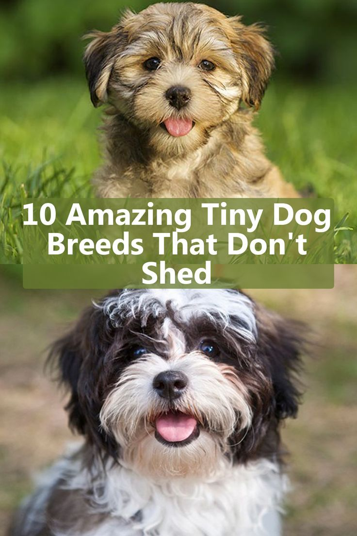 10 Best Small Non Shedding Dog Breeds In 2020 Dog Breeds That Dont Shed Best Small Dogs Tiny Dog Breeds