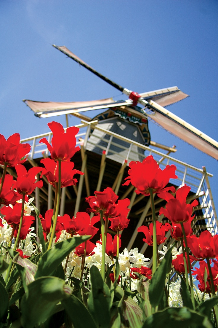 Windmill and tulips - it can only by Amsterdam! Photo by Simone McClenaughan