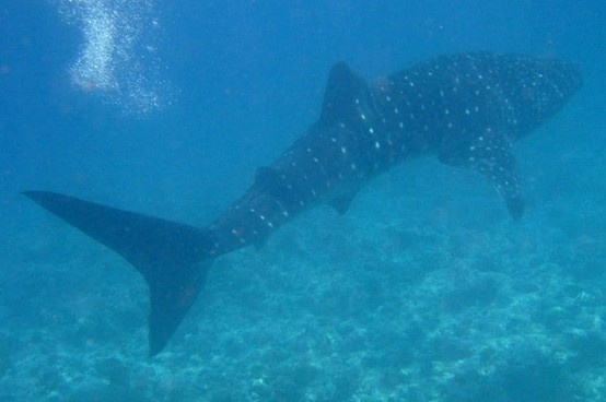 Whale Shark we snorkelled with at Vilamendhoo, Maldives.