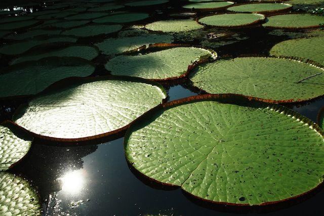 flora del mundo -Nenufares Colombia