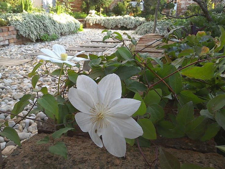 clematis + aster ´snow flurry´