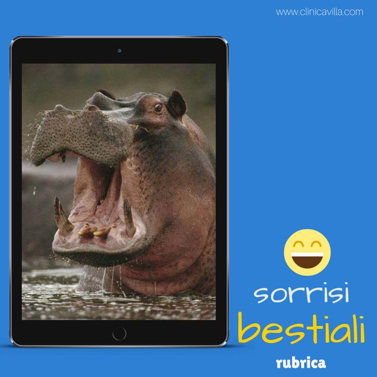 Aguzzi e taglienti i denti degli ippopotami spuntano verso l'esterno, costituendo un'arma temibile. Gli animali adulti hanno da 36 a 40 denti, perché gli incisivi possono variare da 4 a 6. I canini sono a crescita continua e possono raggiungere i 50 centimetri di lunghezza per 3 chilogrammi di peso nel maschio e un chilogrammo nella femmina.