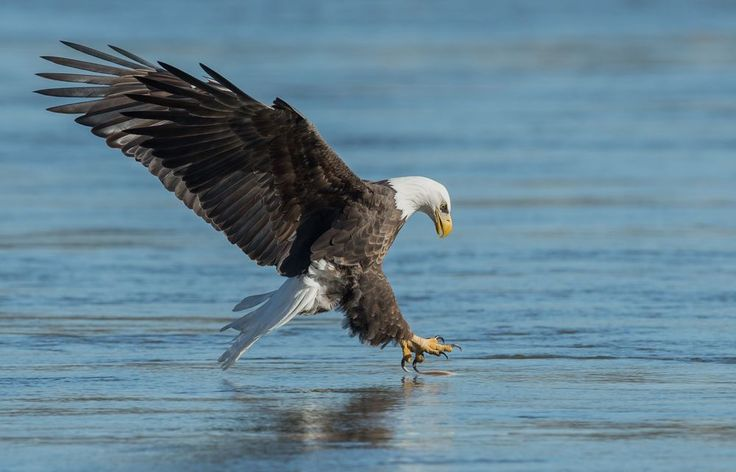 Белоголовый Орлан в последний момент перед вытаскивает рыбу из воды ниже…
