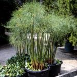 Winter Papyrus Care – Tips For Overwintering Papyrus Plants Papyrus is a vigorous plant suitable for growing in USDA hardiness zones 9 through 11, but overwintering papyrus plants is critical during the winter months in more northern climates. Learn more about winter papyrus care in this article.
