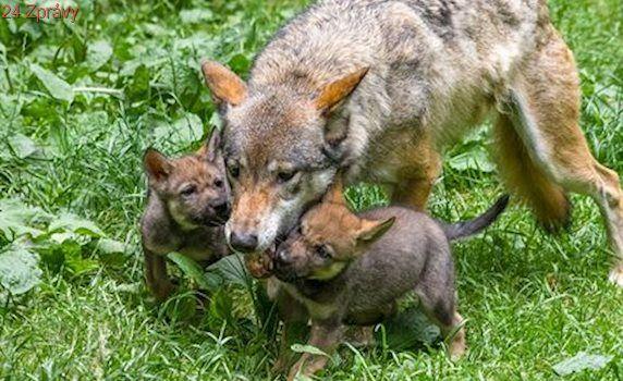 Vlčí paterčata z pražské zoologické zahrady dostala jména podle severské mytologie