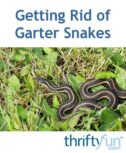 Although these innocuous snakes are not poisonous, they can still be undesirable in a yard or garden. This is a guide about getting rid of garter snakes.