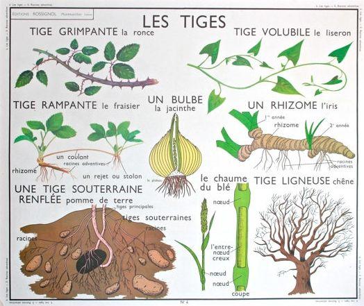 Les tiges (affiche scolaire)