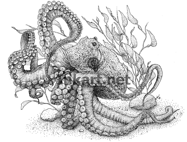 Fine art illustration of a giant pacific octopus next for Realistic octopus coloring page