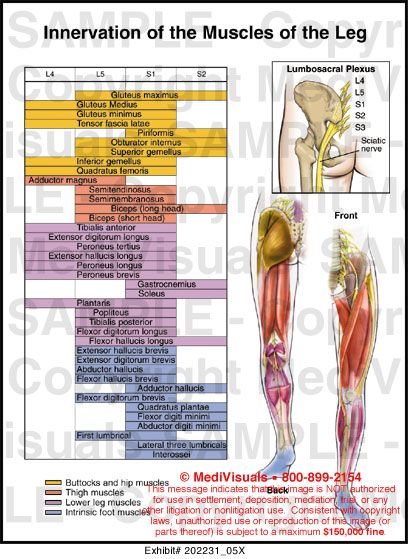 lower leg muscle chart | Innervation of the Muscles of the Leg Medical Illustration Medivisuals