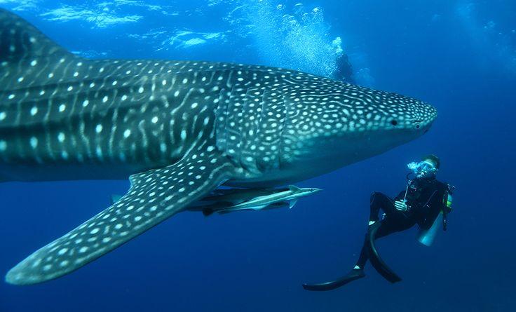 Begegnung mit einem Walhai MIRIHI ISLAND RESORT 5* │ MALEDIVEN