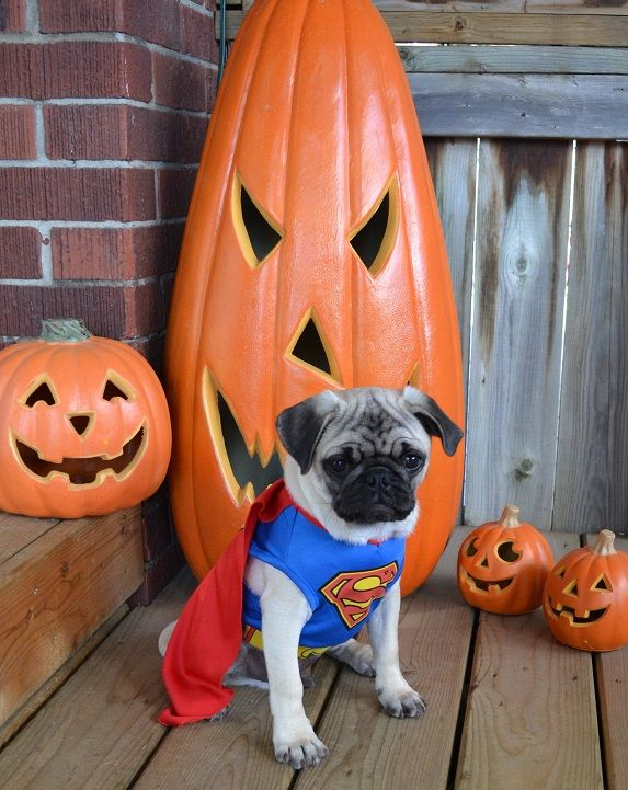 Our Pug Boo As Superman #pugcostume #pughalloween #pugsuperman #superman