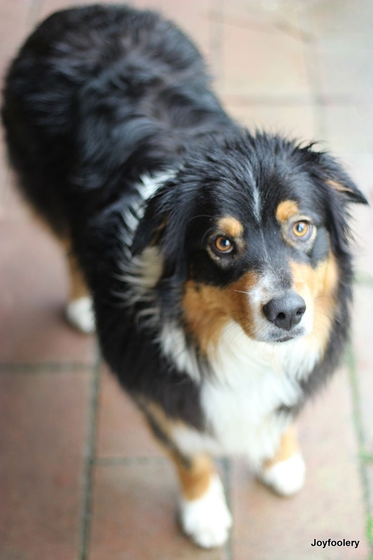 Tri Colour Australian Shepherd