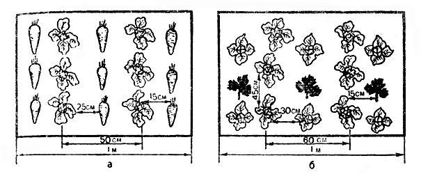 Рис. 10. Схема выращивания брокколи совместно с уплотненными культурами: а - совместное выращивание брокколи и моркови; б - совместное выращивание брокколи, кочанного салата и петрушки