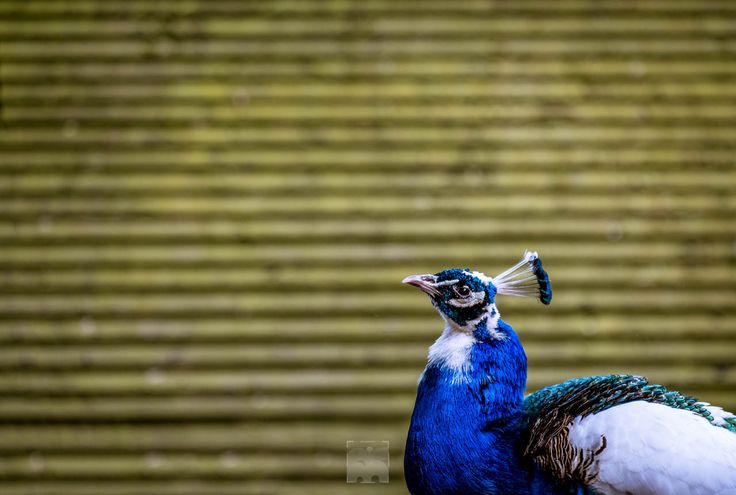 """the Peacock of Judging you... - A shot of a beautiful peacock taken with Fuji xe2s and fujinon 18-55. I love how the color of the background and the colors of the bird are direct opposites.   I try to post daily. My main interest / body of work is Landscapes, but also Street Photography. If you would like to have a license for one of my images, or just a chat look me up at my website. <a href=""""http://bit.ly/1YxAgaB"""">www.bartrosfotografie.nl</a> or on <a…"""