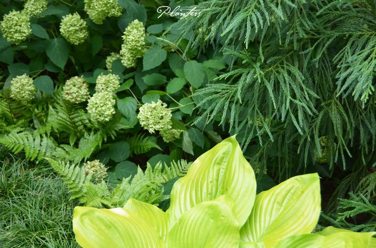 The fading blooms of the Annabelle hydrangea, the chartreuse hosta, the autumn ferns, and the cryptomeria are an inspiring combination of texture and color.  A Planters design.  Atlanta, GA