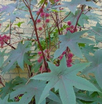 Castor bean plant. A fast growing natural insecticide to plant around the perimeter of the garden.