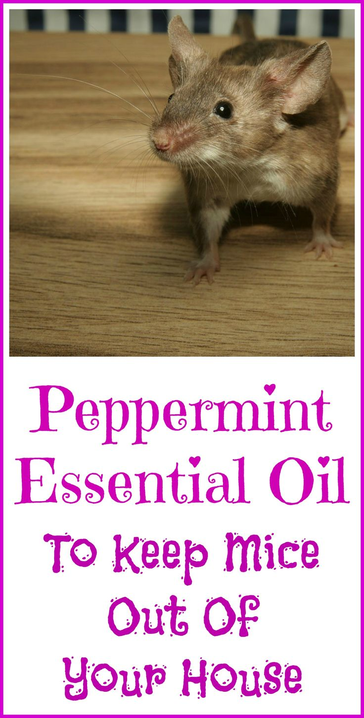 How peppermint essential oil can be used to deter mice from coming into your house.