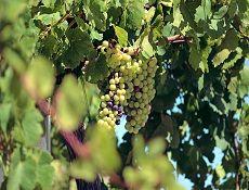 Harvest 2014 #HillcrestEstate