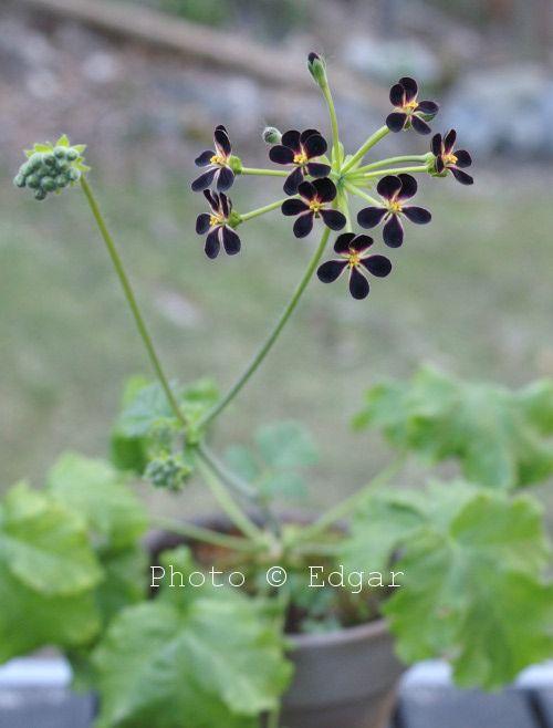 Pelargonium Flora Midnight