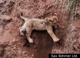 Lion Cub Rescue: Mama Saves, Beatiful Animals, Animal Kingdom, Mother, Mama Lion, Lion Rescues, Fallen Cub, Lion Cubs, Cub Rescued