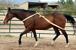 Try the TTEAM bodywrap for your horse's self-carriage -I tried this today and it really worked well with my gelding who likes to rush and hollow his back on the lunge line.