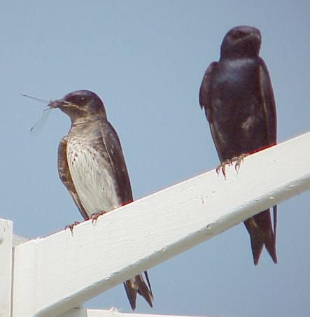 Frequently Asked Questions/Purple Martin