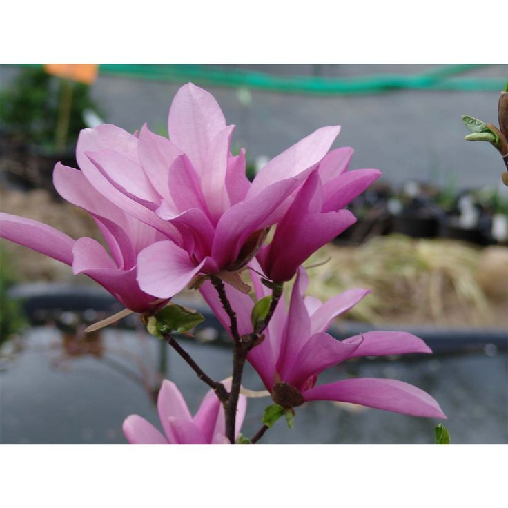 Check out the deal on Magnolia Tree - Jane - Potted Plant at Growers Solution