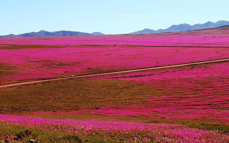 """Desierto """"más"""" florido del último tiempo se extendería hasta noviembre tras lluvias en el Norte"""