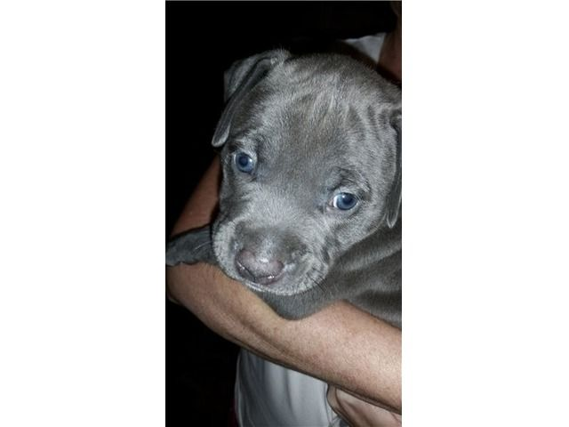 listing American PitBull Puppies And Watch Dogs ... is published on Free Classifieds USA online Ads - http://free-classifieds-usa.com/for-sale/animals/american-pitbull-puppies-and-watch-dogs-9123350747_i33525