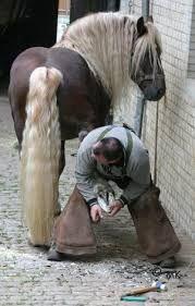 Bildergebnis für Pferde kaltblüter schwarzwälder