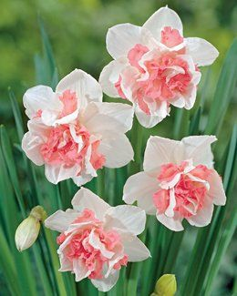 Pink Double Daffodils. I've planted these friendly little faces with Angelique Double Tulips everywhere we've lived.
