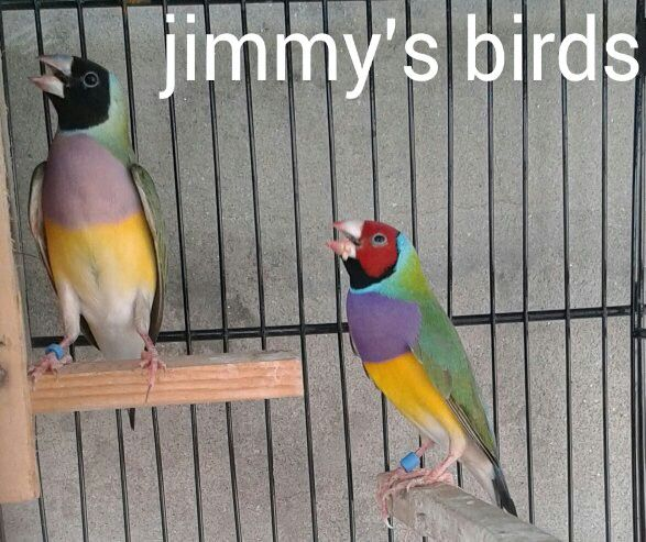 Gouldian Finches Finch Breeds Birds