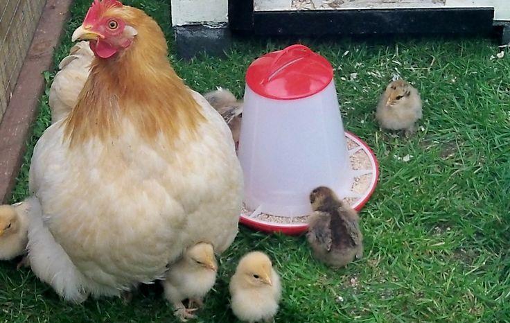 Pekin Broodie - Creme Brulee - with her chickies