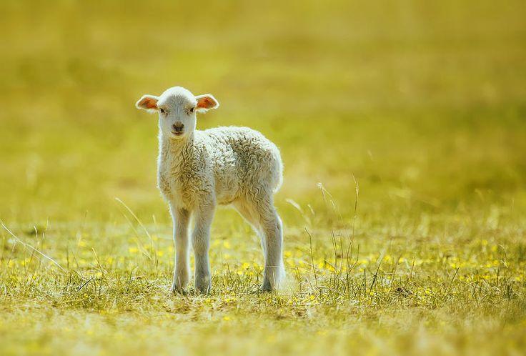 Cute Lamb Photograph by Oksana Ariskina. Farm country animals  #OksanaAriskina #ArtForHome #FineArtPrints #InteriorDesign #PrintsForSale #Sheep #Farm #FairyTale #Lamb #Rural #Yellow #Summer #Spring #Cute #Baby