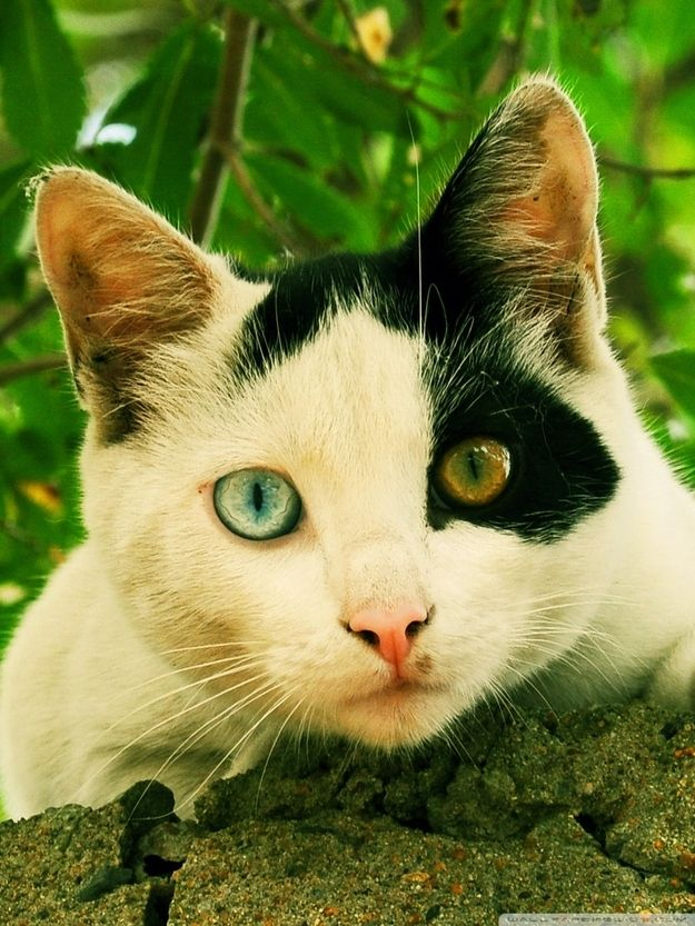 Best Hetrochromia Iridium Two Colored Eyes Images On - This cat has the most amazing multi coloured eyes ever