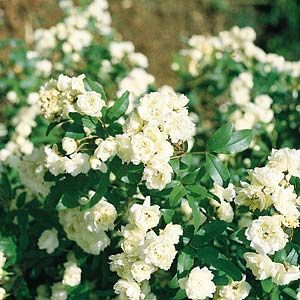Rosa banksiae 'alba'    White Banksia Rose is a rampant evergreen climber with white double flowers and is ideal for covering a fence or bare wall. Prefers a full sun to part shade position. Flowers spring to late autumn.    Grows up to 9m high x 9m wide.