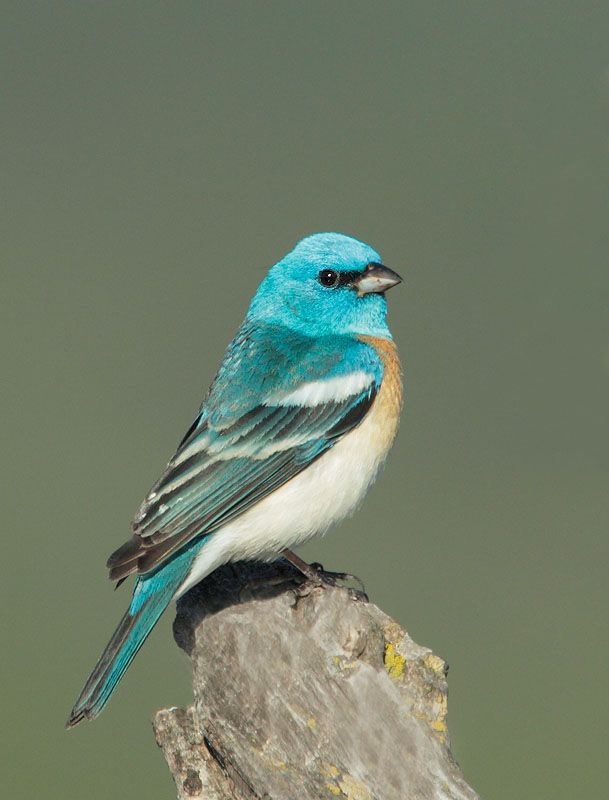 The lazuli bunting (Passerina amoena) is a North American songbird named for the gemstone lapis lazuli.